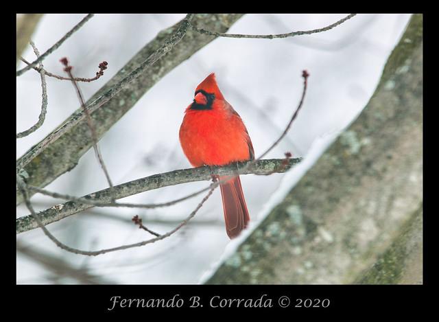 Northern Cardinal (3016)