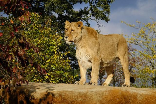 Femal asian lion.