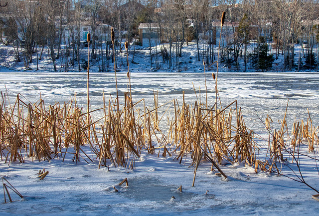 Cattails revisited, Oathill Lake Dartmouth Nova Scotia