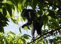 Celebes crested macaque, Macaca nigra, Чёрная макака