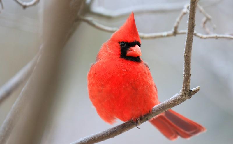 northern cardinal male at Lake Meyer Park IA 653A9811