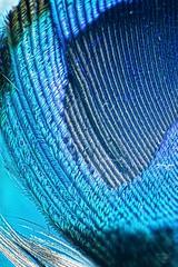 Macro peacock feather