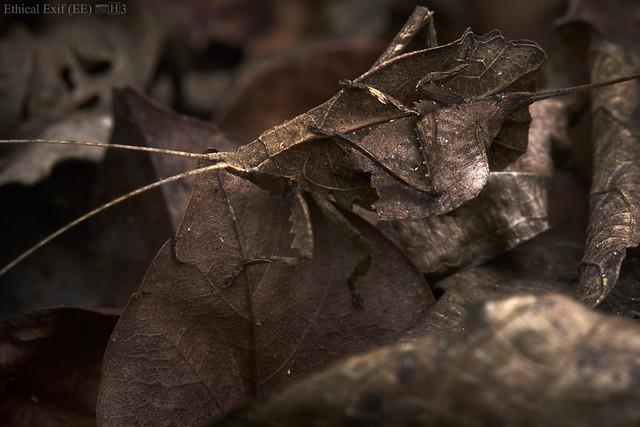 Mating leaf-mimicking katydids (Typophyllum sp.)