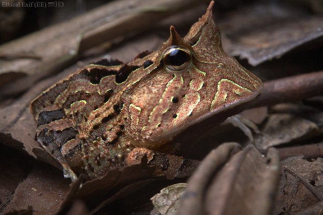 Horned frog (Ceratophrys cornutum)
