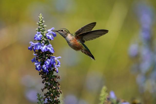 Board-tailed hummingbird
