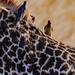 2017.06.23.5995 Tick Birds