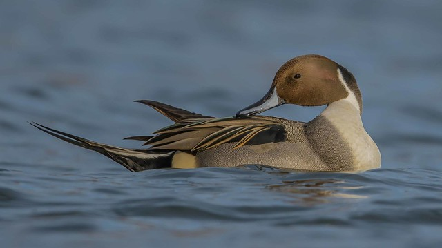 Northern Pintail  5987
