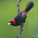 A Perched Crimson-collared Tanager Prepares To Move Lower