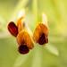 Crotalaria pumila (I), 1.15.20
