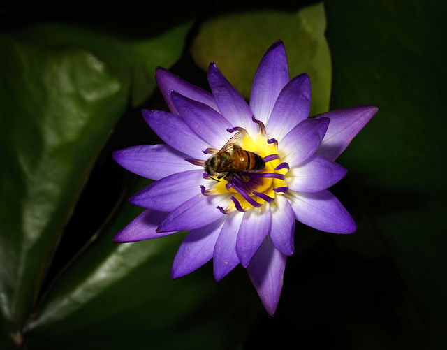 Purple Waterlily with Bee.
