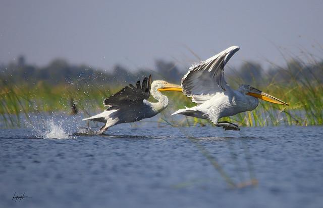 ! Common Name :Dalmatian Pelican !