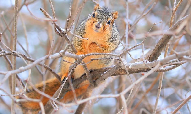 fox squirrel at Lake Meyer Park IA 653A9781