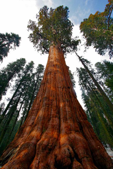 Los árboles más altos del mundo
