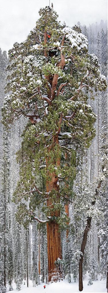 El Presidente: El segundo árbol más alto del mundo