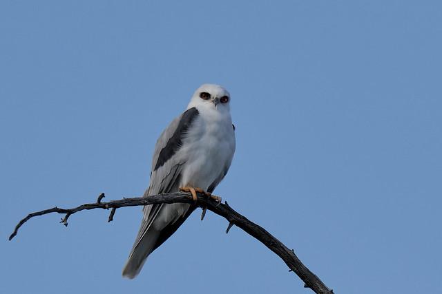 DSC_3702 White-tailed Kite