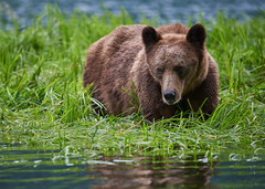 Male Grizzly standing in Sedge grass at high tide