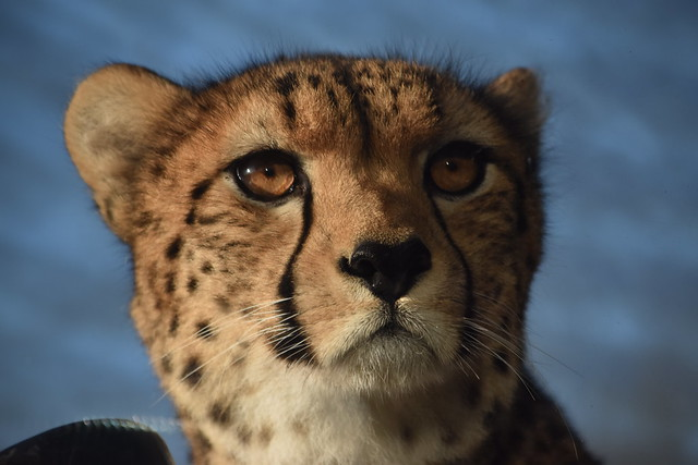 Face of a Cheetah