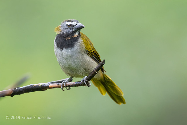 A Perched Buff-throated Saltator