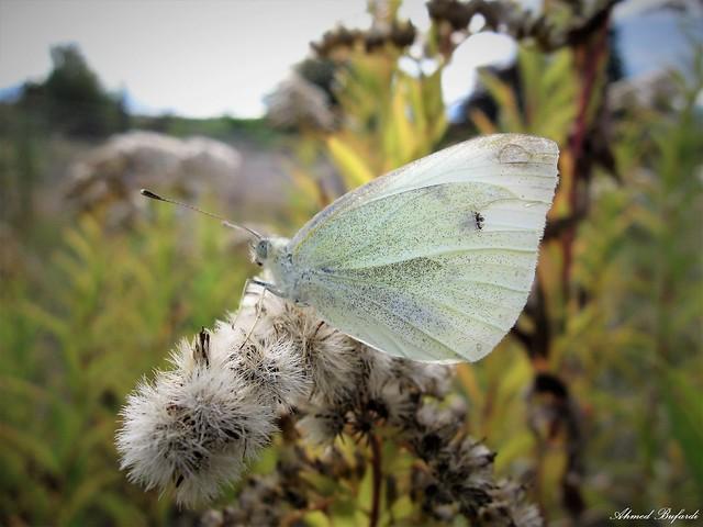 Butterfly 1925