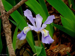 Dwarf Crested Iris.