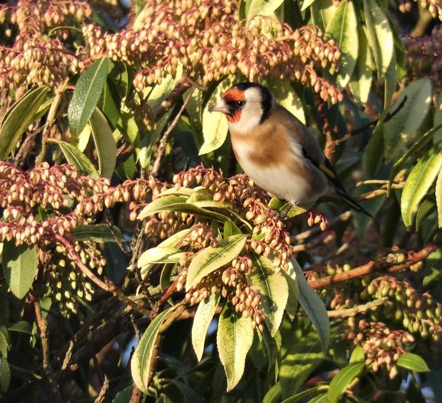 The garden:  Goldfinch and Pieris