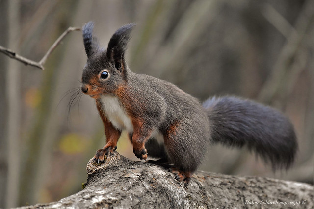 Écureuil roux (Sciurus vulgaris) (295)