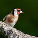 Chardonneret élégant Carduelis carduelis - European Goldfinch