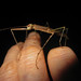 Richmond River Stick Insect (Candovia strumosa)