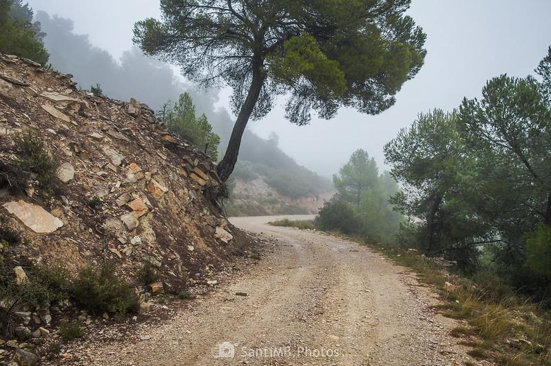 Pino inclinado al borde del camino de Mas de Bondia a Guimerà