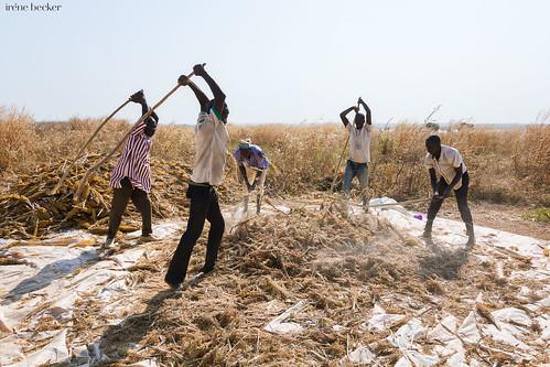 kadunastate nigeria westafrica farming harvesting landscape village igabi documentary
