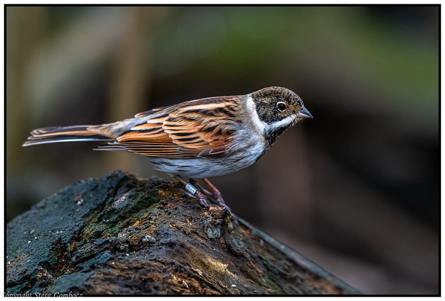 Reed Bunting ready for the off!