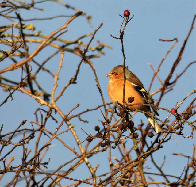 The garden: Chaffinch in the sun