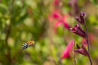 Blue banded bee , first one I've seen this summer , the smoke from all the bushfires has affected them I'm sure