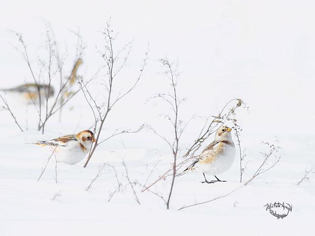 Picorant des grains- Plectrophane des neiges / Snow bunting - Eating seeds