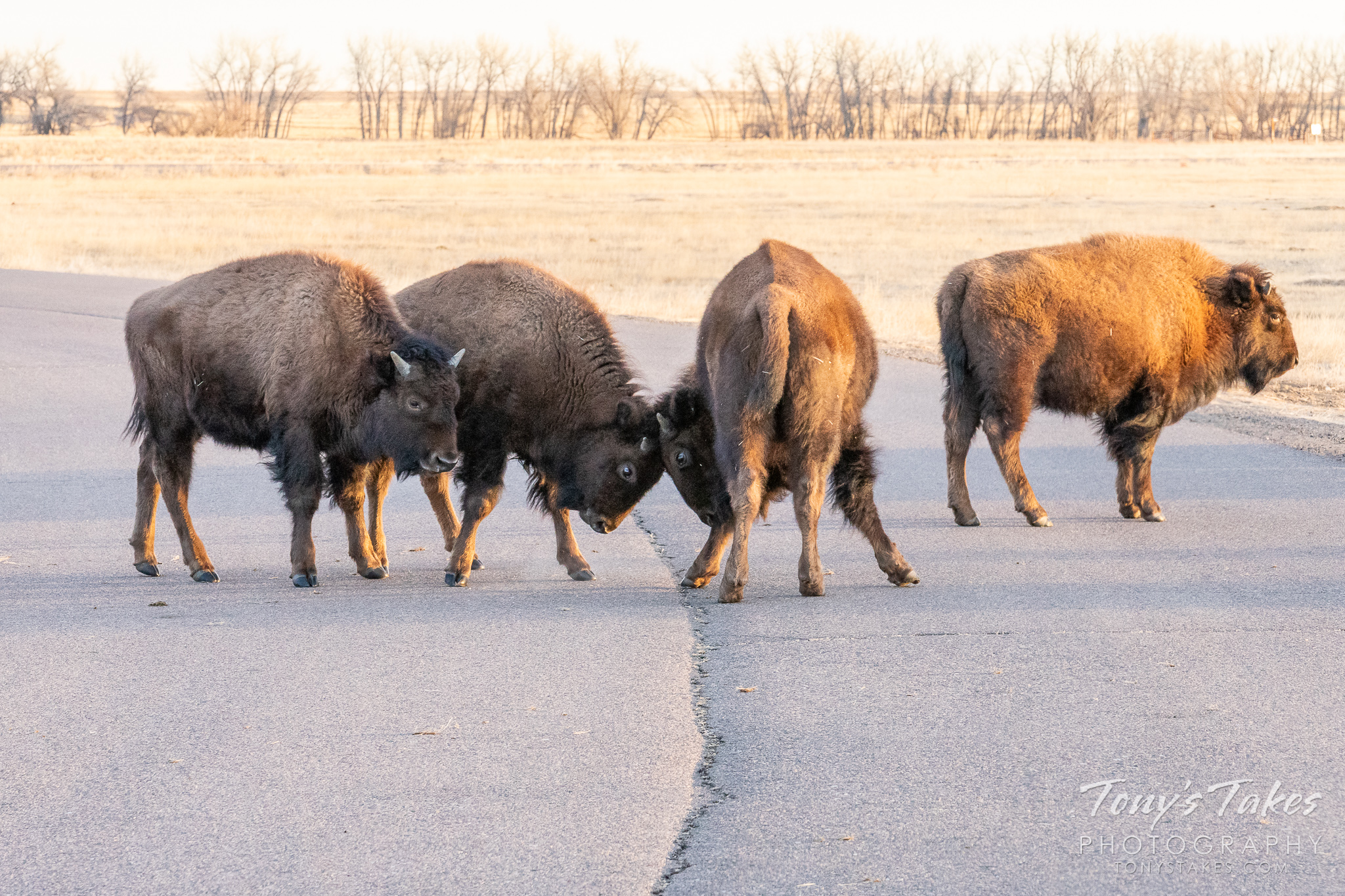 Bison calves play in the street
