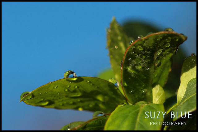 Droplets on Honeysuckle leaves