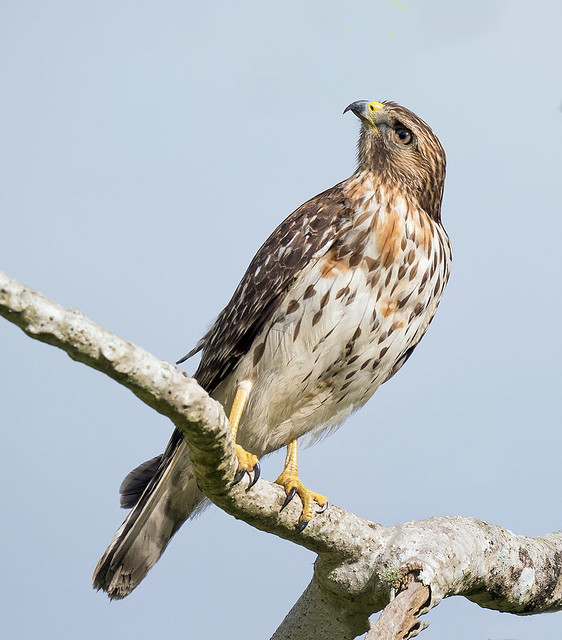 Immature Red Shouldered Hawk.