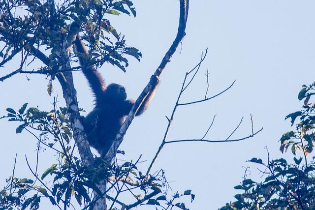 North Borneo Gibbon
