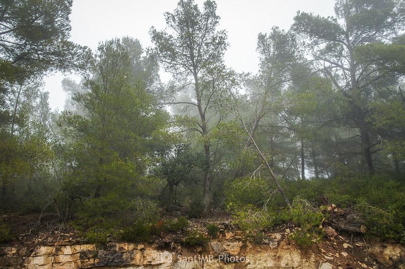 Zona de pinos en el camino de Mas de Bondia a Guimerà