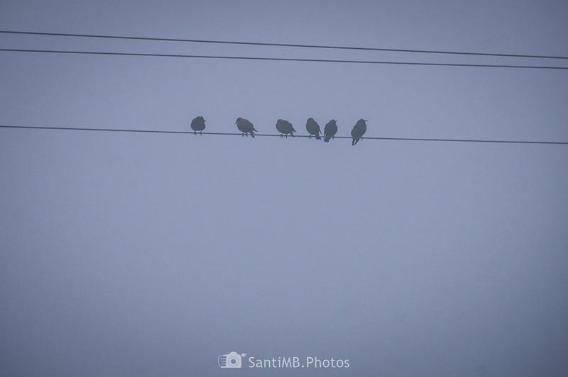 Estorninos en un cable eléctrico en Mas de Bondia