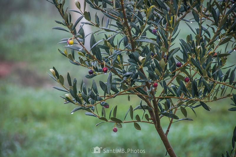 Pequeño olivo junto al camino de Verdú a l'Ametlla de Segarra
