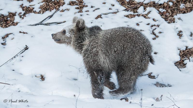 Wild bear cub on the run...
