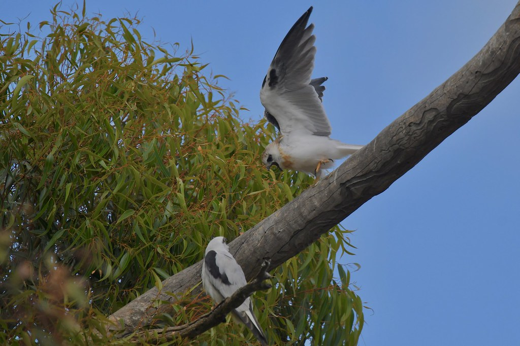 Black-shouldered KItes (not happy its food time )