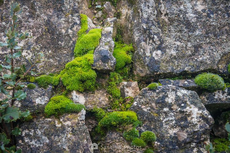 Musgo entre piedras en el camino de Mas de Bondia a Guimerà