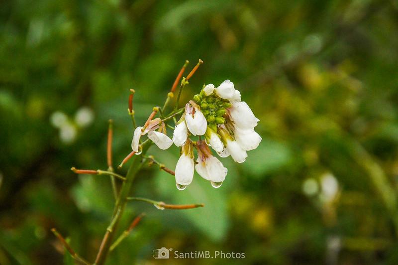 Flores de rabaniza blanca en el camino a Mas de Bondia
