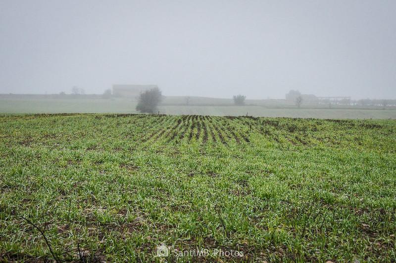 Campos de cereal brotando en las afueras de Verdú