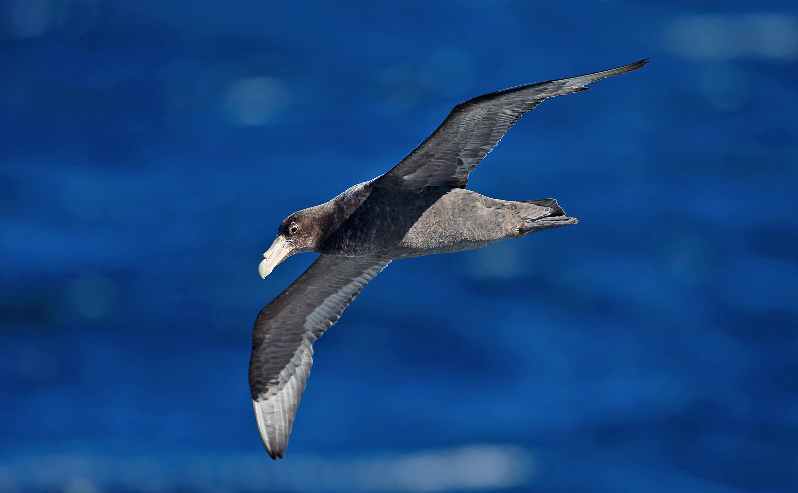 Southern Giant Petrel - immature dark morph