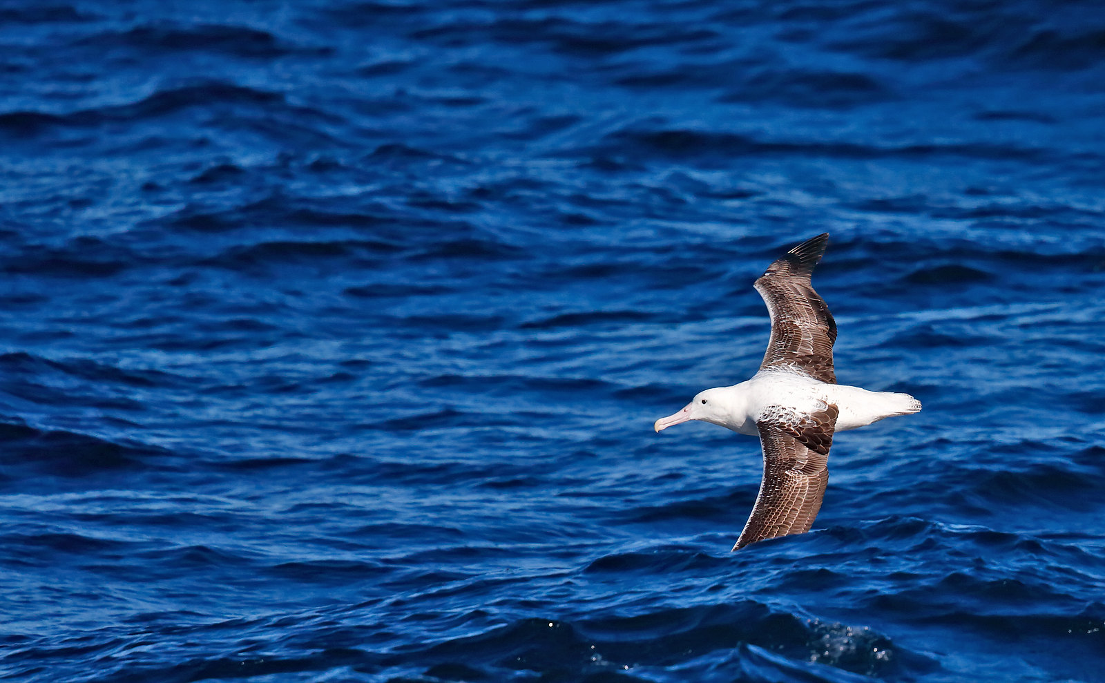 Southern Royal Albatross - 2nd cycle