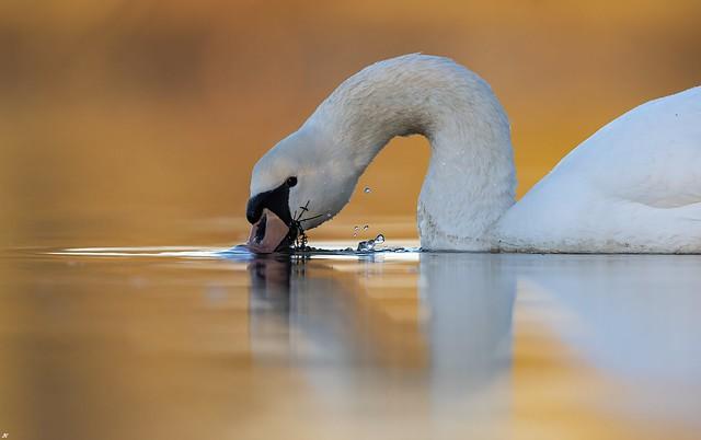Mute Swan, Attenborough Nature Reserve.