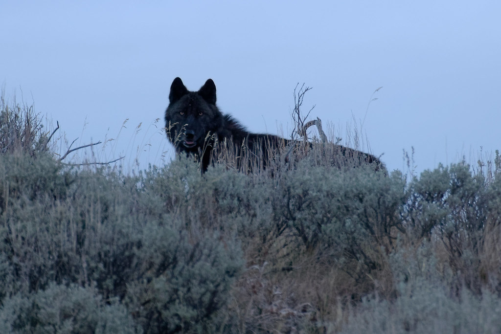 A gray wolf with black fur watches me from a atop a ridge as dusk falls at Yellowstone National Park in Wyoming in October 2006